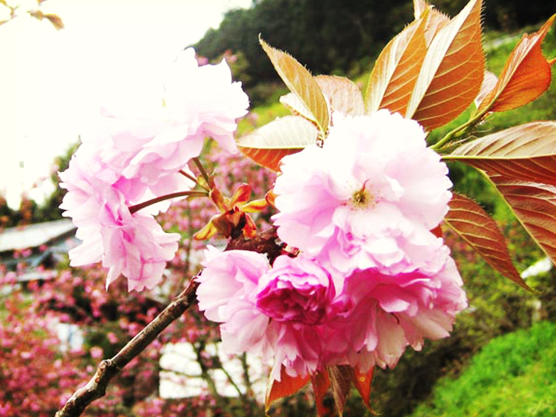 さくら梅(吉野の桜)