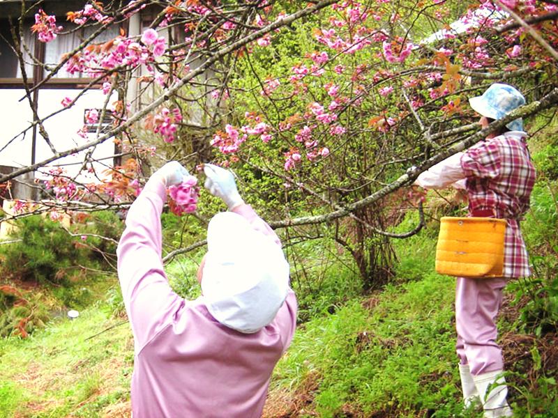 さくら梅(吉野の桜手摘み)