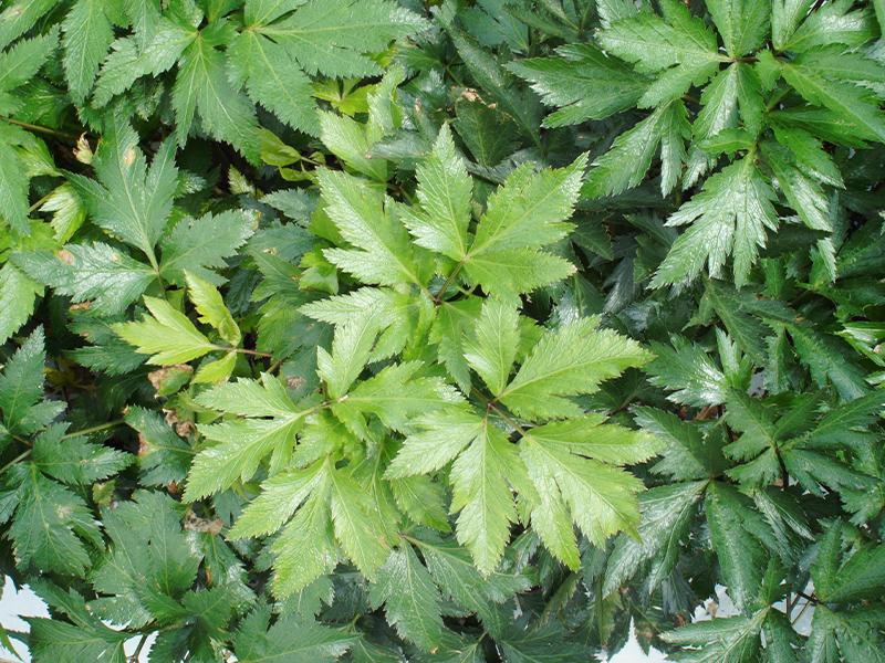 大和トウキ葉は奈良ピックルスの大和トウキ漬に使用しています