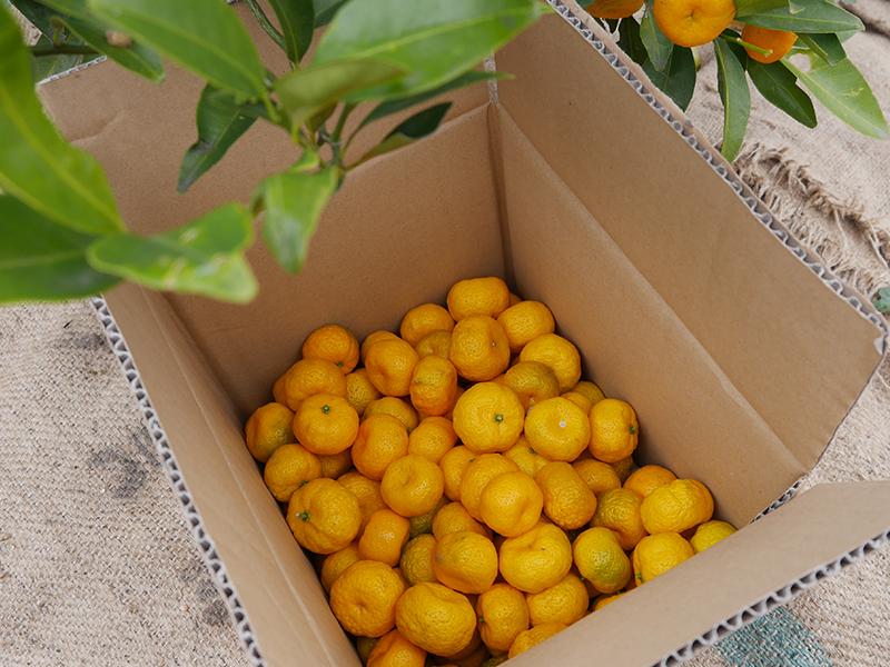 大和橘収穫