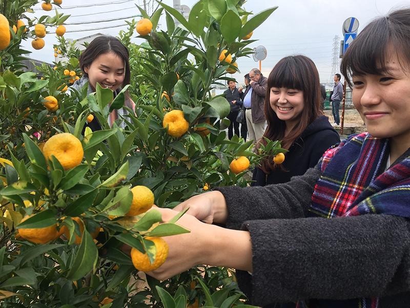 大和橘収穫女子編